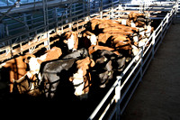 K1613 - Cattle sales, November 7, 2016