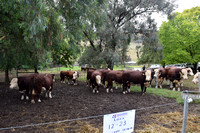 K400 - Newcomen Herefords 14th Bull Sale, March 22, 2017