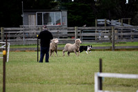 K1584 - Bairnsdale Show Dog Trials, November 5
